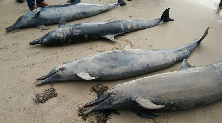 Dolphins Wash Ashore Near Tuticorin: 4 of them dies