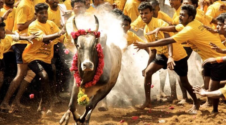Important Decision To Be Made By SC Over Jallikattu Ordnance General News List
