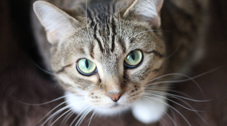 New Research Finds Virus Equivalent To HIV AIDS In Cats